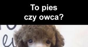 Pies czy owca?