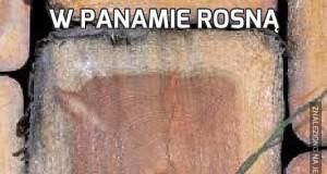 W Panamie rosną