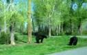 Walka niedźwiedzi! (prawdziwy hardcore)