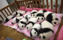 Sweet panda overload