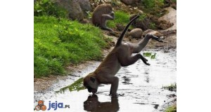 Małpi wodopój