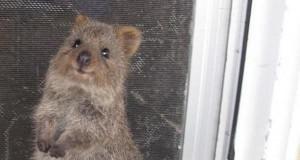 Kuoka - radosny zwierzak z Australii