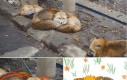 Potężny lis