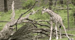 Strachliwa żyrafa