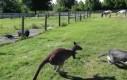Kangur i pies bawią się w berka