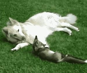 Krwiożerczy wilk atakuje bezbronnego lisa