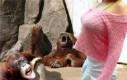 Orangutany