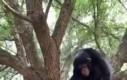 Dobry ziomek szympans