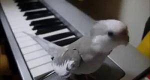 Śpiewająca papuga