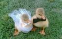 Ślub małych kaczek