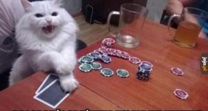 Koci szuler