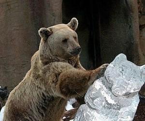 Brutalna walka niedźwiedzi