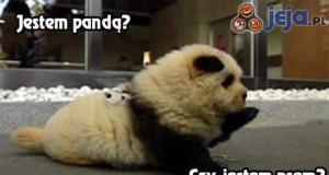 Czy to panda? czy to pies?