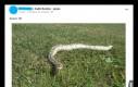 A ty? Wyprowadzasz swojego węża na spacer?