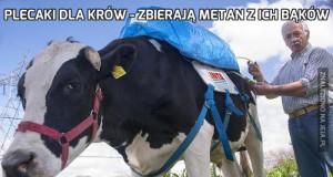 Plecaki dla krów - zbierają metan z ich bąków