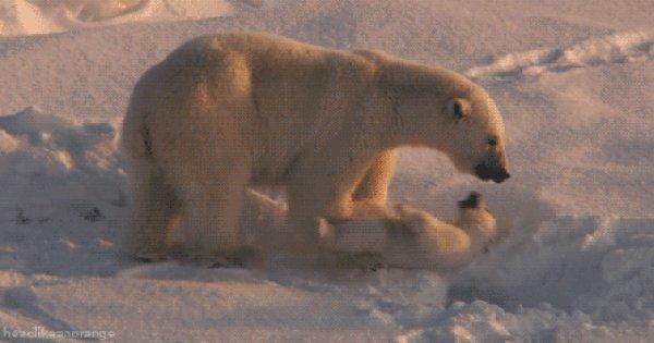 Гиф с белым медведем