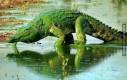 Krokodyl po kąpieli