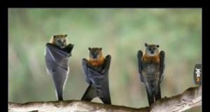Nietoperze wiszące do góry nogami