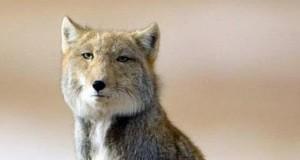 Tybetański lis ma wszystko w dupie