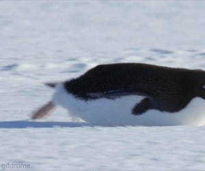 Szybki pingwin