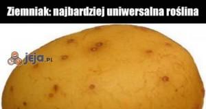 Ziemniak - najbardziej uniwersalna roślina