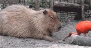 Magiczny przycisk do wyłączania kapibary