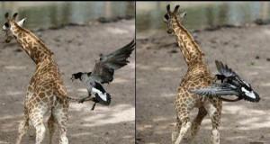 Nie zadzieraj z żyrafą