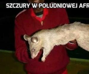 Szczury w południowej Afryce
