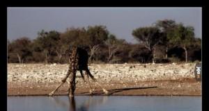 Odcinek szyjny kręgosłupa żyrafy składa się z 7 kręgów