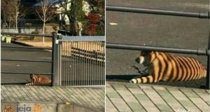 Tygrys miejski