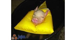 Pływająca świnka