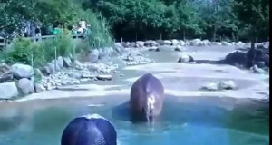 Kulturalny hipopotam