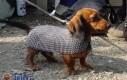 Opancerzony pies