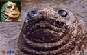 Jabba?