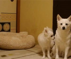 Niewzruszony pies