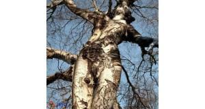 Drzewo jak kobieta
