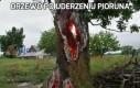 Drzewo po uderzeniu pioruna