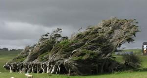 Krzywe drzewa w Nowej Zelandi
