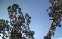Bardzo rzadkie drzewo trampkowe