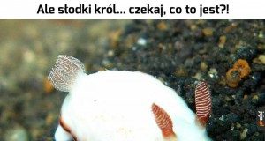 Chromodoris verrieri
