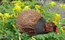 Rozkoszna kokoszka