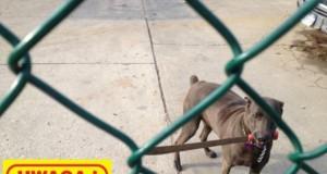 Uwaga! Pies z Krakowa!
