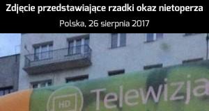Polski nietoperz