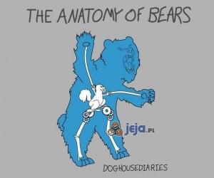 Anatomia niedźwiedzia