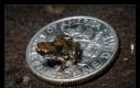 Najmniejsza żabka świata