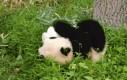 Panda się stacza