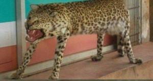 Gepard realizm 10/10