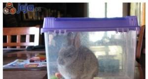 Wkurzony królik jest wkurzony