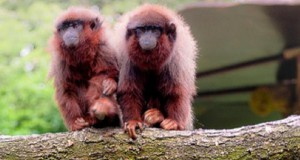 Małpia parka