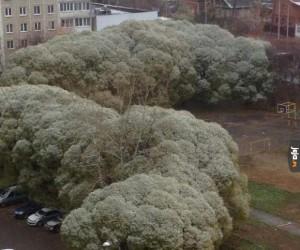 Dorodne brokuły